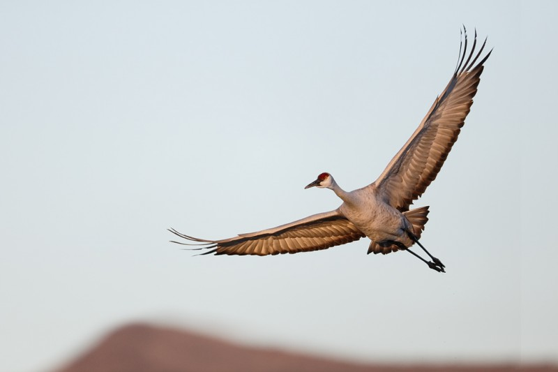 sandhill-crane-in-flight-composition-improved-_09u0077-bosque-del-apache-nwr-san-antonio-nm