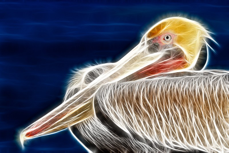 brown-pelican-fract