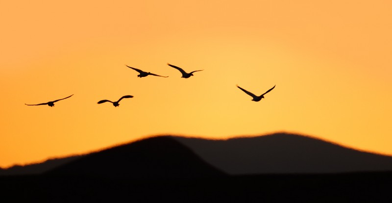 snow-geese-over-mountains-at-sunset-yellow-sky-_09u3409-bosque-del-apache-nwr-san-antonio-nm