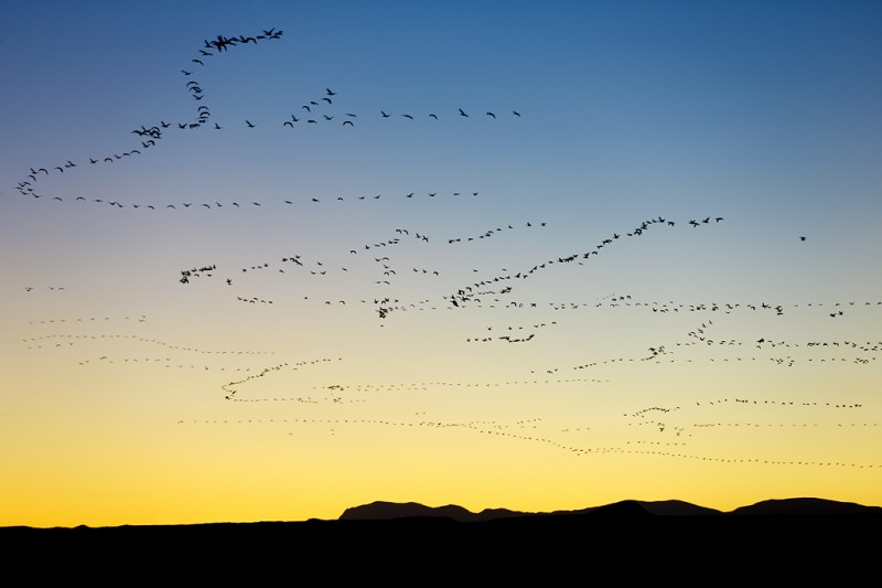 snow-geese-skeins-at-sunset-_a1c1124-bosque-del-apache-nwr-san-antonio-nm