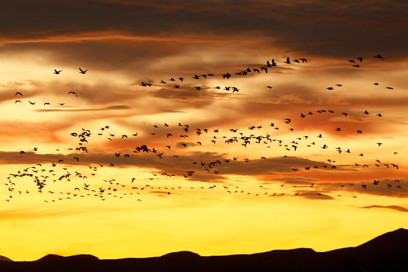 snow-geese-sunset-above-ridge-_w3c4616-bosque-del-apache-nwr-san-antonio-nm