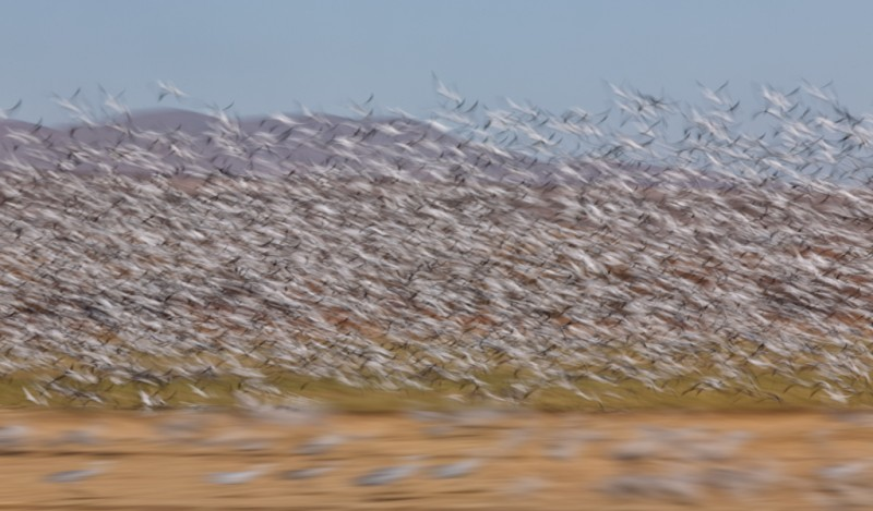 snow-doose-crane-two-way-blur-1-13-sec-_a1c1479-bosque-del-apache-nwr-san-antonio-nm