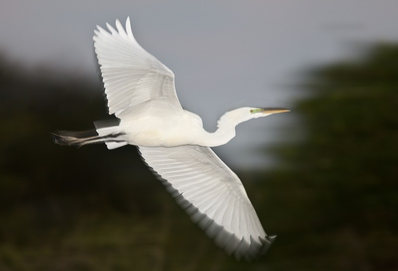 great-egret-flash-blur-_y9c1104-venice-rookery-fl