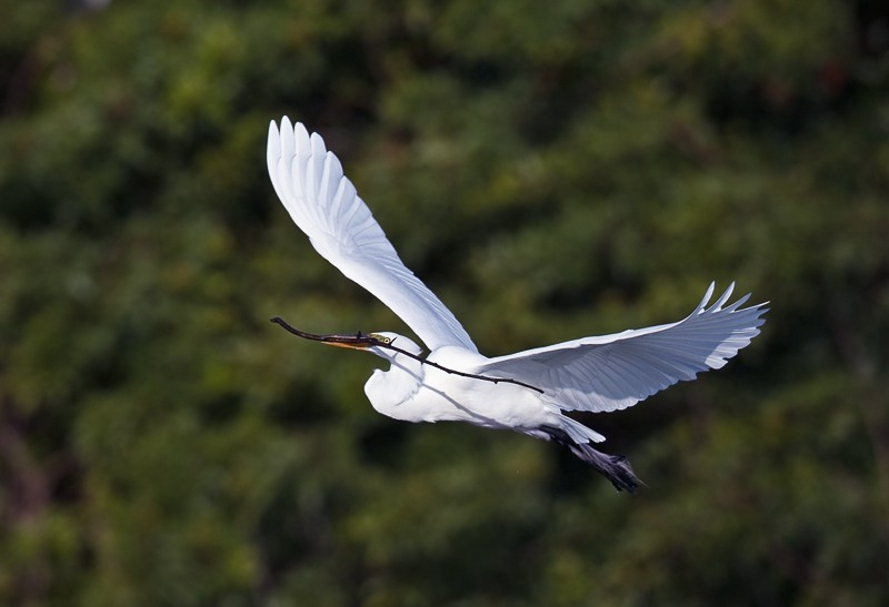 great-egret-with-nesting-material-_w3c3839-venice-rookery-fl