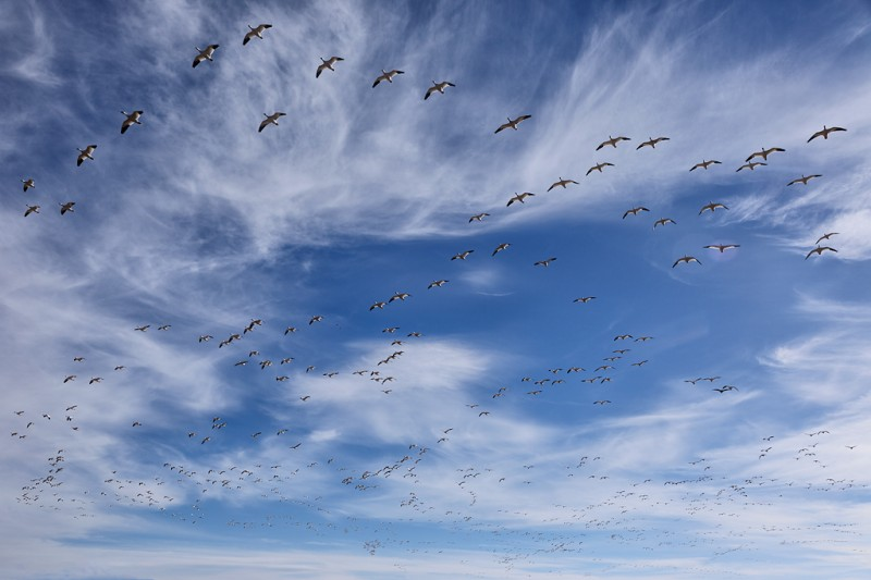 snow-geese-flock-24-105-_w5c1058-bosque-del-apache-nwr-san-antonio-nm