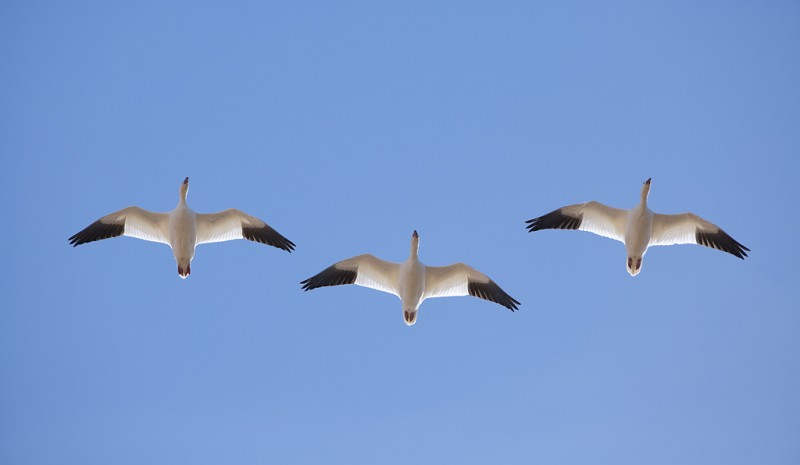 snow-geese-3-in-flight-from-below-_a1c8900-bosque-del-apache-nwr-san-antonio-nm