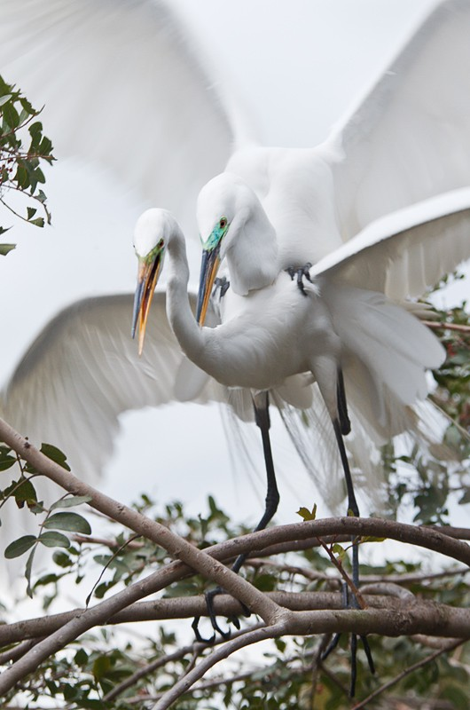 great-egrets-copulating-_y9c6633-gatorland-kissimmee-fl