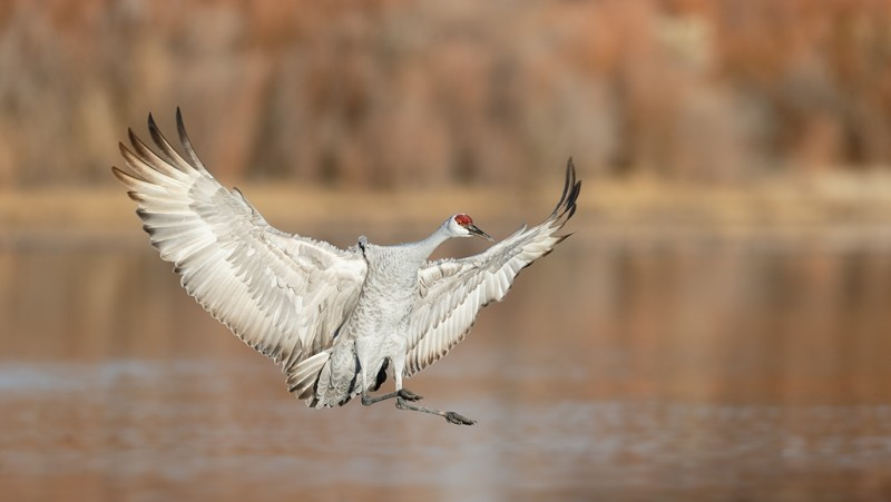 sandhill-crane-braking-bpn-for-landing-feet-extended-_09u5325-bosque-del-apache-nwr-san-antonio-nm