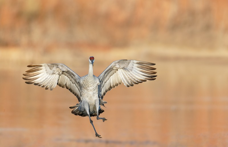 sandhill-crane-landing-_09u5384-bosque-del-apache-nwr-san-antonio-nm