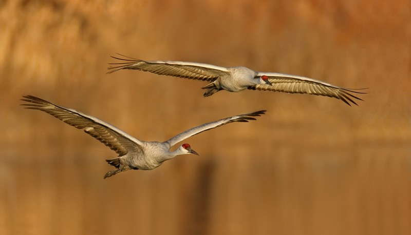 sandhill-cranes-two-landing-_09u4802-bosque-del-apache-nwr-san-antonio-nm_0