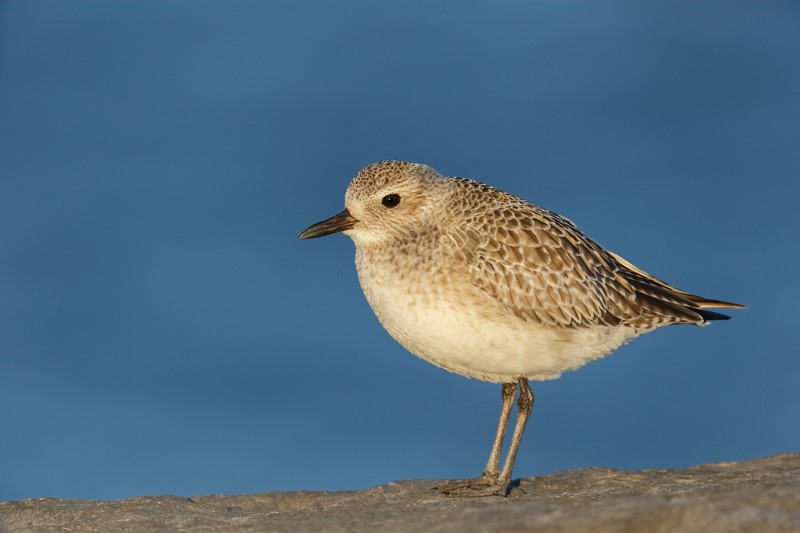 black-bellied-plover-winter-plumage-_09u0690-barnegat-jetty-nj