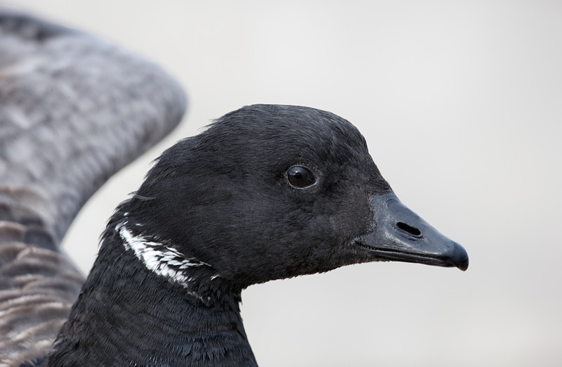 brant-flapping-head-portrait-_09u9432-barnegat-jetty-nj