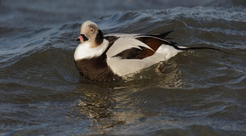long-tailed-duck-drake-swimming-layers-_09u0615-barnegat-jetty-nj