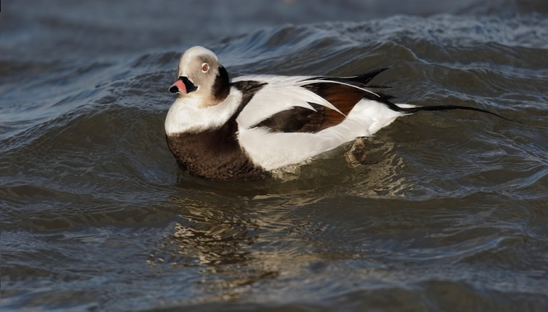 long-tailed-duck-drake-swimming-final-_09u0615-barnegat-jetty-nj