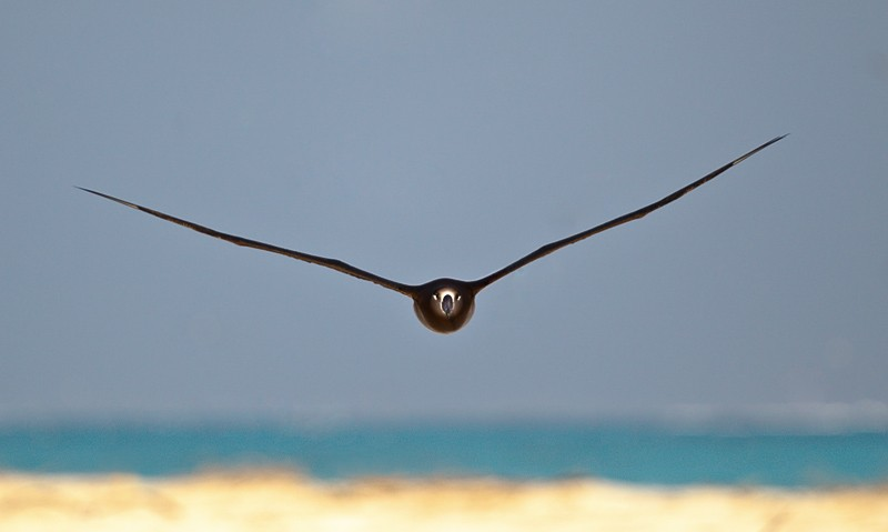 black-footed-albatross-coming-at-you-_y9c9463-midway-atoll-nwr