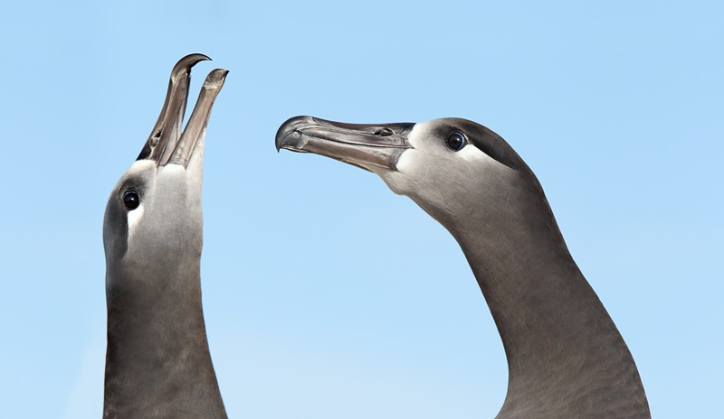 black-footed-albatross-courtship-display-_y9c1678-midway-atoll-nwr