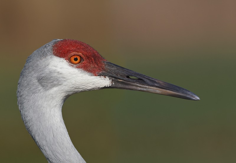 sandhill-crane-head-portrait-stitch-pano-_y9c9749-indian-lake-estates-fl