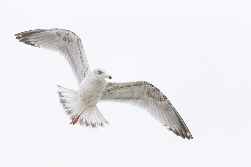 ring-billed-gull-sub-adult-in-flight-_q8r0038-jamesport-new-york