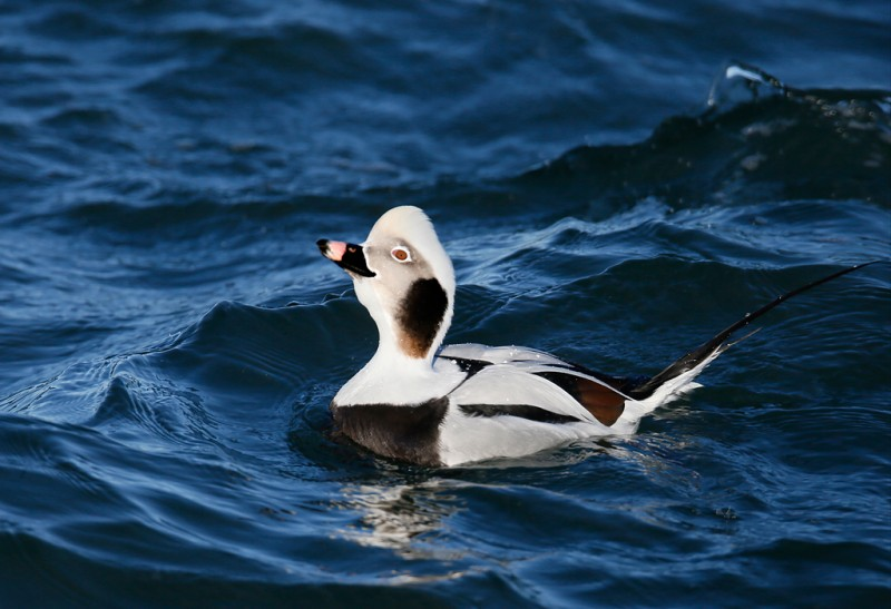 long-tailed-duck-displaying-drake-_q8r0607-barnegat-jetty-nj