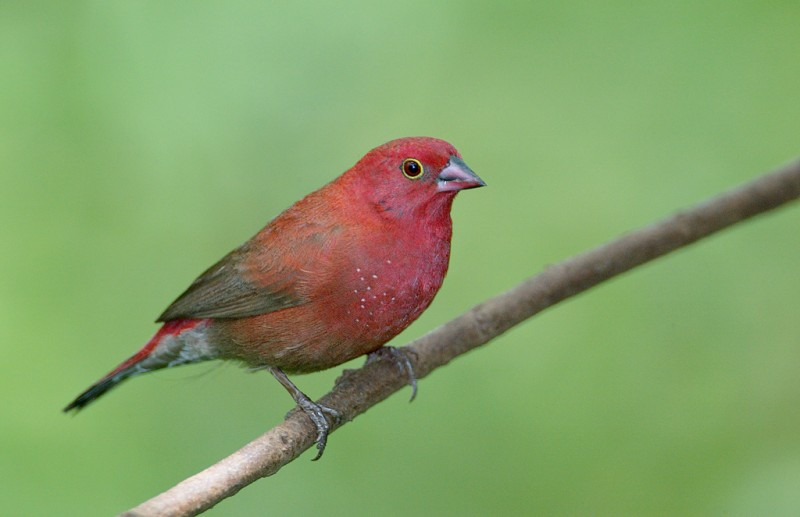 african-firefinch-tanz-123f0857
