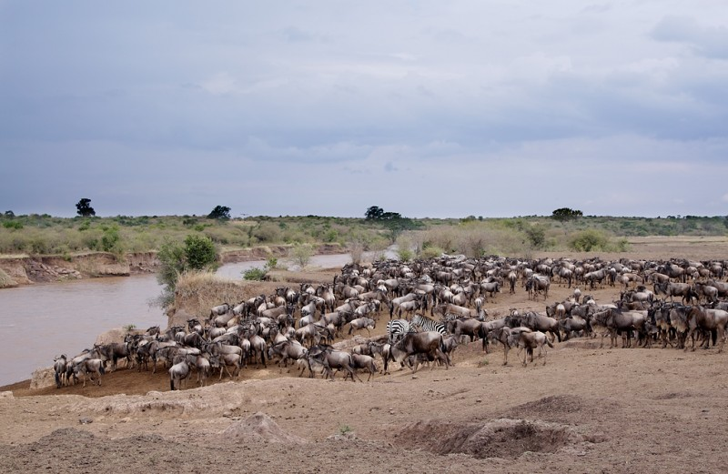 wildebeest-and-zebra-herd-at-the-river-bank-robt_e0w4854keekorok-lodge-maasai-mara-kenya