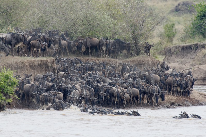 wildebeest-herd-crossing-robt_v5w5972keekorok-lodge-maasai-mara-kenya