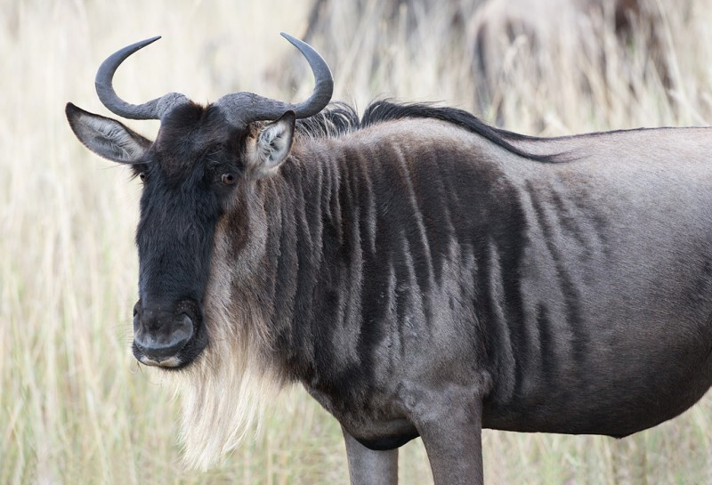 wildebeest-very-black-handsome-_o7f9581-maasai-mara-kenya
