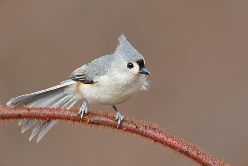 tufted-titmouse-tail-spread-_q8r0306-elizabeth-a