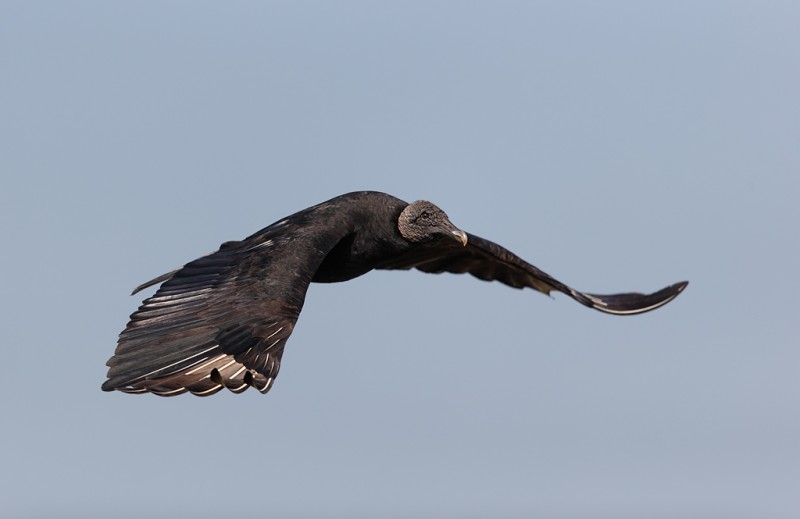 black-vulture-in-flight-_09u7274-anhinga-trail-everglades-national-park-fl