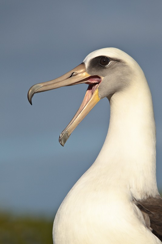 laysan-albatorss-bill-clacking-display-_y9c1582-midway-atoll-nwr2
