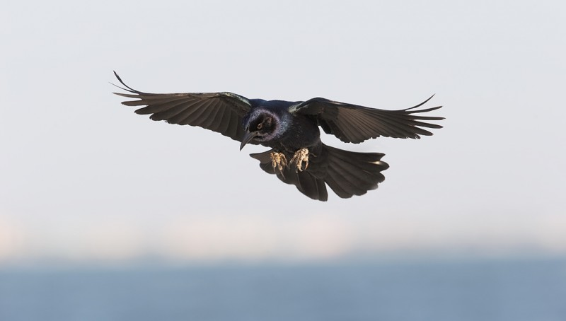 boat-tailed-grackle-landing-_09u1157-saniel-fishing-pier-sanibel-fl