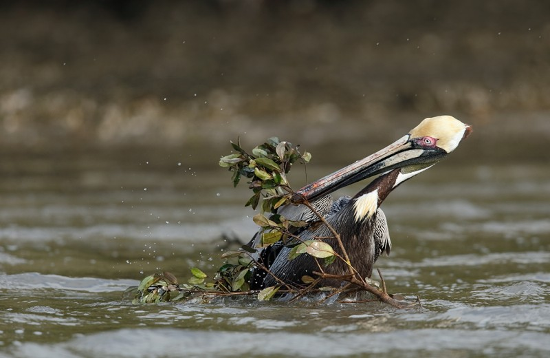 brown-pelican-struggling-with-nesting-material-_09u2338-alafia-banks-tampa-bay-fl