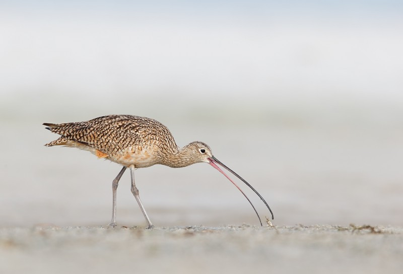 long-billed-curlew-w-fiddler-crab-_09u2612-fort-desoto-park-pinellas-county-fl