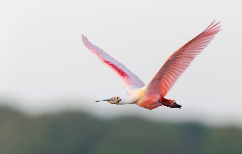 roseate-spoonbill-in-flight-iso-1600-_09u1910-alafia-banks-tampa-bay-fl
