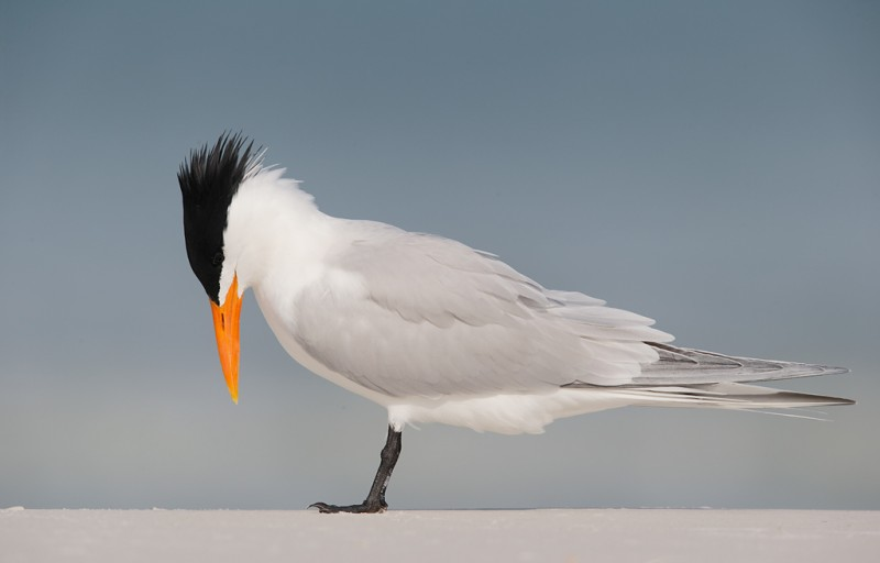 royal-tern-bowing-posture-_09u2788-fort-desoto-park-pinellas-county-fl