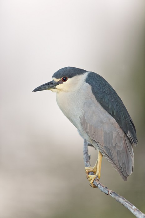 black-crowned-night-heron-600mm-1-60-sec-bluer-_09u1323-venice-rookery-south-venice-fl
