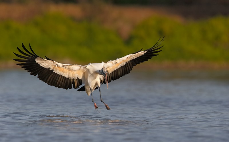 wood-stork-landing-600-ii-w-2x-iii-tc-_09u8202-anhinga-trail-everglades-national-park-fl