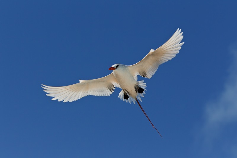 red-tailed-tropicbird-display-_w3c9915-midway-atoll-nwr
