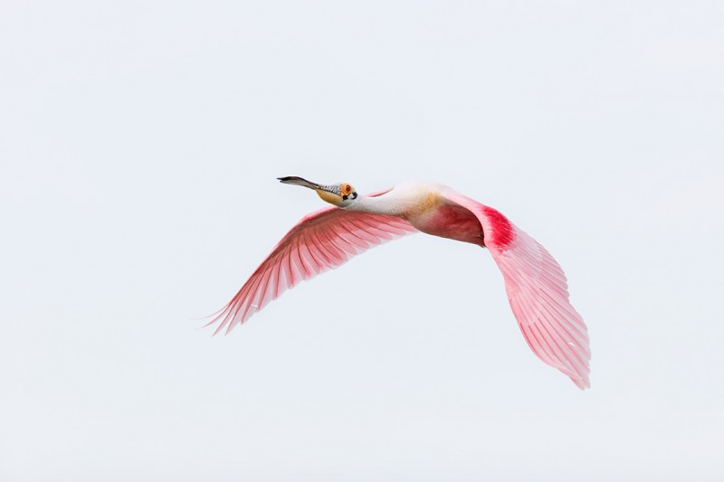 roseate-spoonbill-white-sky-flight-blog-_09u6225-alafia-banks-tampa-bay-fl_0