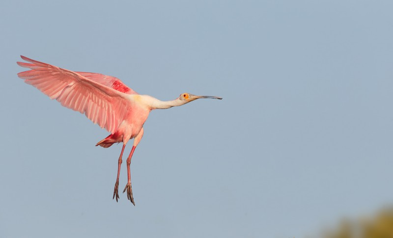 roseate-spoonbill-braking-to-land-_q8r8636-alafia-banks-tampa-bay-fl