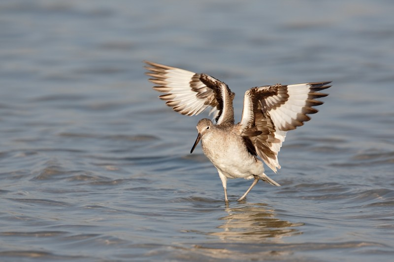 willet-flapping-after-bath-_a1c0031-fort-desoto-park-pinellas-county-fl