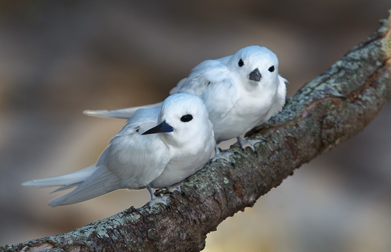 white-tern-pair-on-branch-_y9c8108-midway-atoll-nwr
