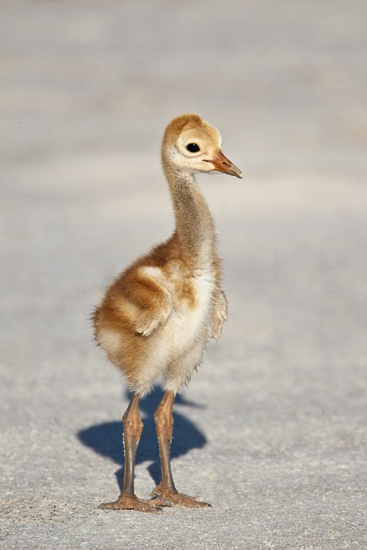 sandhill-crane-young-chick-with-eggtooth-_w3c1117-indian-lake-esates-fl