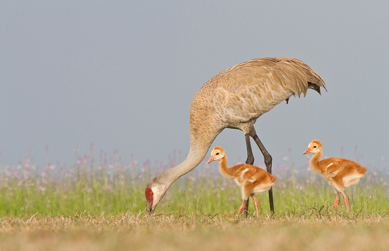 sandhill-cranes-adult-with-two-chicks-_mg_2199-indian-lake-esates-fl