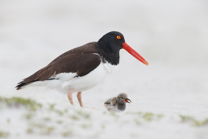 american-oystercatcher-just-fed-chick-_q8r7004-nickerson-beach-park-lido-beach-ny_0