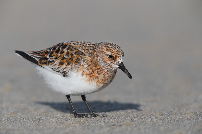 sanderling-breeding-plumage-_q8r6711-nickerson-beach-park-lido-beach-ny