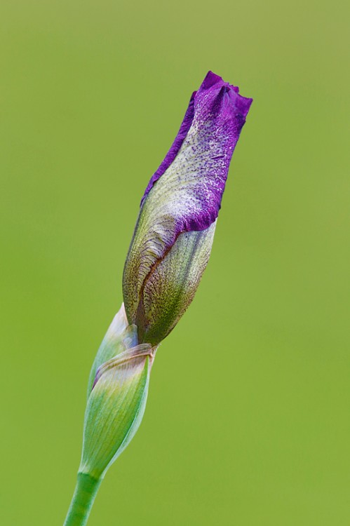 iris-bud-purple-and-white-_a1c2111-presby-gardens-upper-montclair-nj