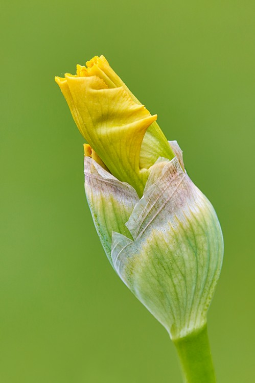 iris-bud-yellow-_a1c2221-presby-gardens-upper-montclair-nj