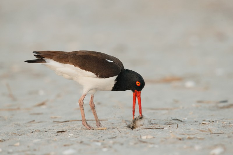 american-oystercatcher-finishing-off-chick-_q8r7736-nickerson-beach-park-lido-beach-ny