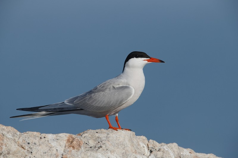 common-tern-breeding-plumage-_q8r9367-great-gull-island-project-new-york